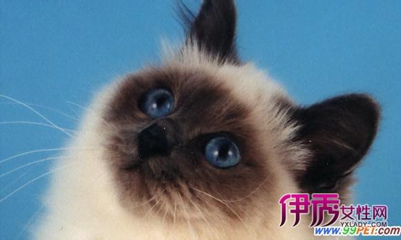 美国短毛猫 短 查看全文 喜玛拉雅猫shorthair新加坡猫挪威森林猫