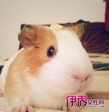 豚鼠喜欢洗澡,爱干净,它们是可爱的歌唱家哦,吃什么也有讲究哦!