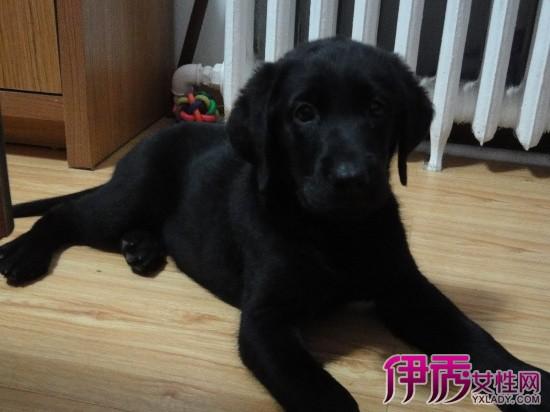 【图】黑色的拉布拉多犬 快进来看看可爱的小黑犬吧