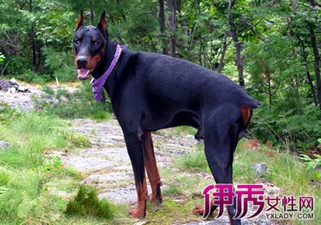 而雪纳瑞等一些更类犬种,因为它们的耳道的结构比较复杂,里面长满了硬