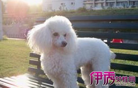 狗狗智商排名表里的贵宾犬是指巨型贵宾,标准贵宾还是图片