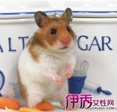 【图】可爱仓鼠的品种大全 选择自己喜欢的小仓鼠当你的玩伴
