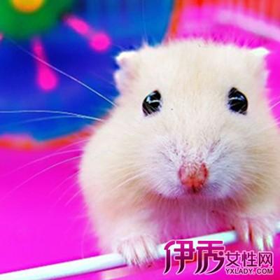 【图】仓鼠公母怎么区分 介绍仓鼠的性格特点-仓鼠公母图片