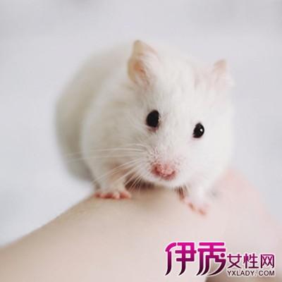 小仓鼠怎么分公母图片