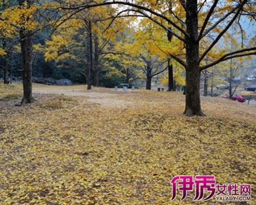 【桂林灵川海洋乡银杏林】【图】桂林灵川海洋乡银杏