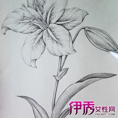 欣赏手绘百合花朵素描图片 为你揭秘手绘的行业竞争图片