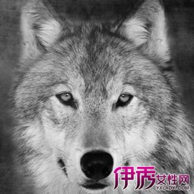 狼的素描画-素描工具   素描的工具种类很多,如石笔、炭笔、铁笔、粉笔、毛笔、图片