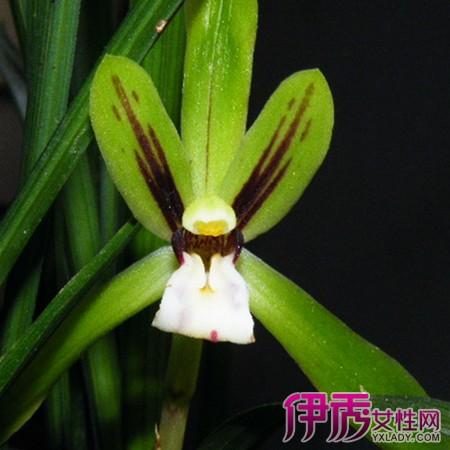 关于野生兰花品种鉴别图片 网友称秦岭盛兰花芬芳
