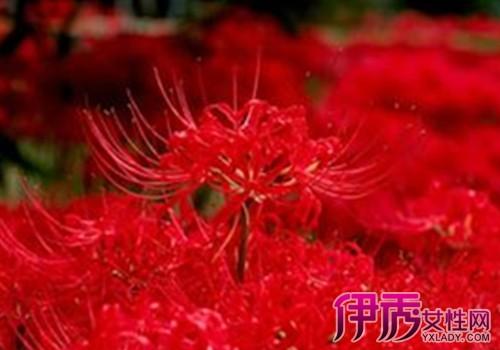 红色彼岸花的花语是什么 彼岸花的传说