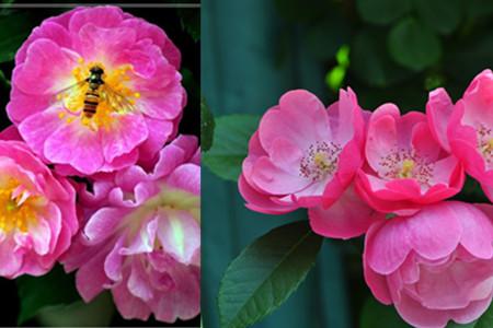 【蔷薇】【图】蔷薇花语大全 赞美刺玫诗词鉴