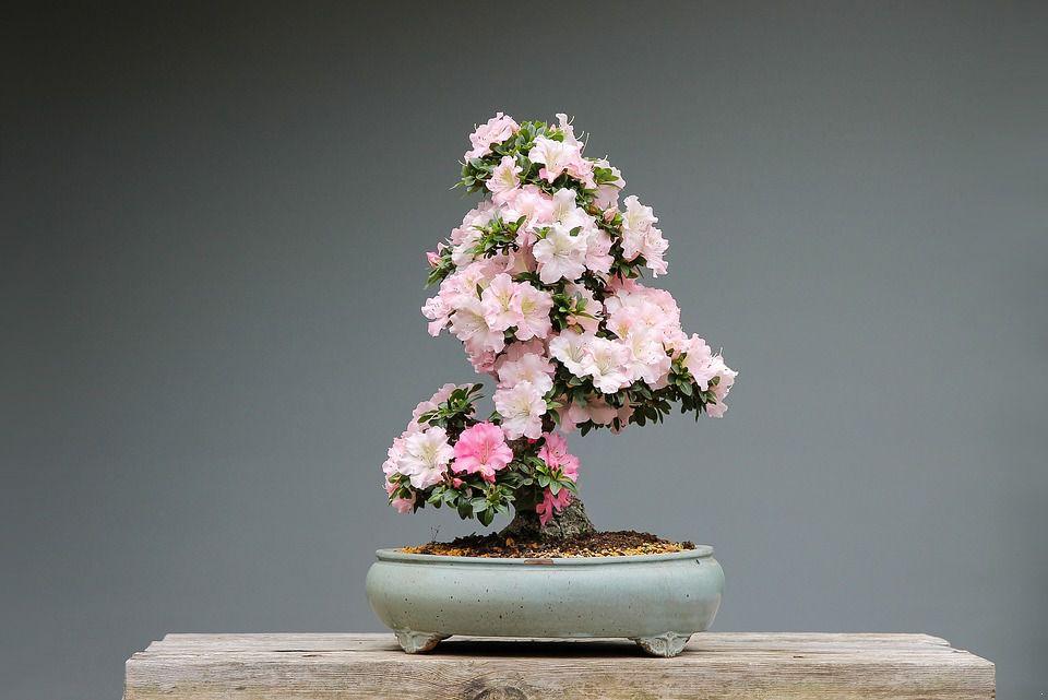 bonsai-3125722_960_720.jpg