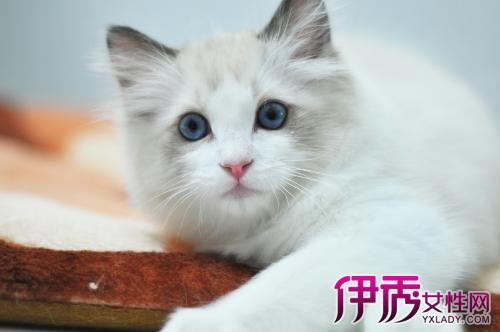 【图片】布匹偶猫好多钱壹条 布匹偶猫标价及遗传