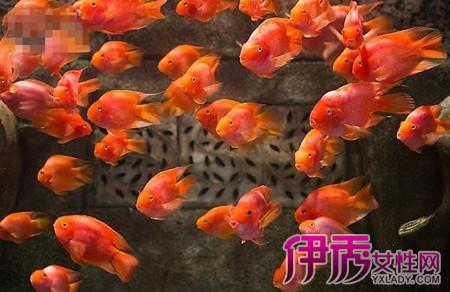 鹦鹉鱼混养知识介绍 鹦鹉鱼和什么鱼搭配养比较好图片