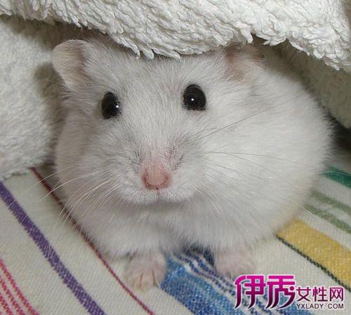 宠物小仓鼠吃什么 教你如何正确饲养心爱的动物