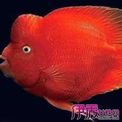 金刚鹦鹉鱼的特征特点是什么 金刚鹦鹉鱼要怎么养图片