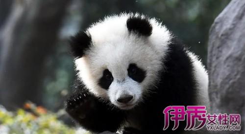 熊猫抱大腿成网红|为什么熊猫喜欢抱人的大腿
