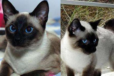 【暹罗猫】【图】暹罗猫变黑拥有哪些缘由 铲屎