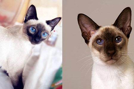【暹罗猫】【图】暹罗猫运触动量好多才适宜 此雕刻