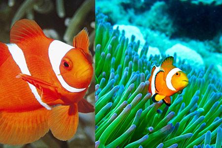 【小丑鱼】【图】小丑鱼好养吗 记住三点管理