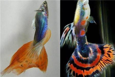 【热带鱼】【图】盘点热带鱼种类 红绿灯鱼的