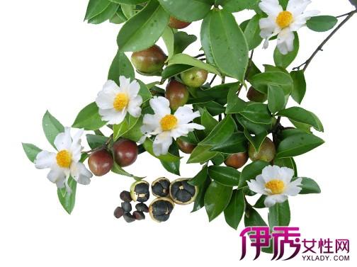 油茶树嫁接茶花