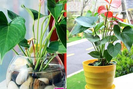 盆栽红掌不开花怎么办 分享三个实用解决方法