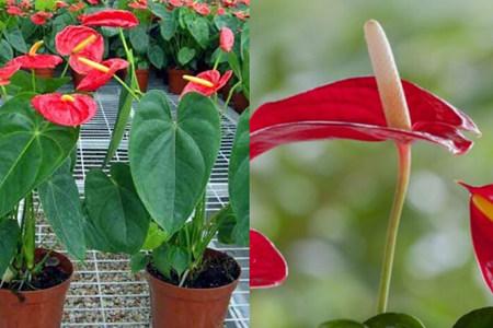 【图】养殖红掌的花期多长小技巧让花开的漂亮