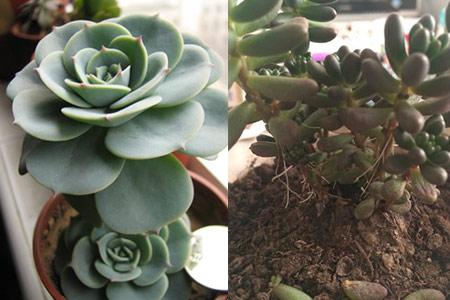 【图】多肉植物多久浇一次水掌握三个方法植株才更健壮