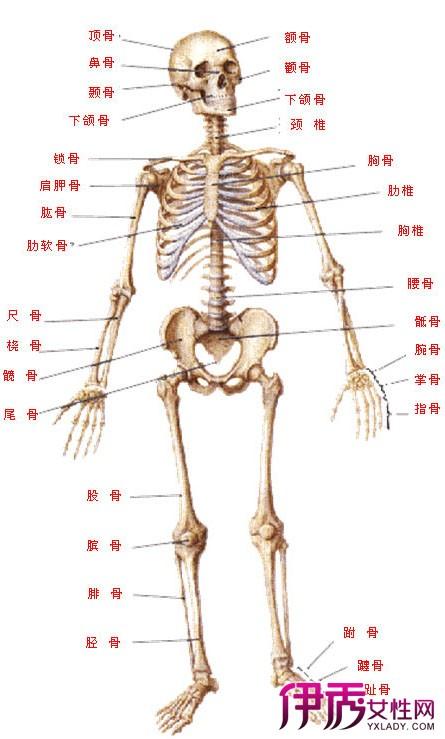 【图】人体骨骼名称详解 带你了解你的身体骨骼-人体骨骼名称