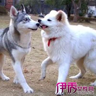 萨摩耶犬介绍图片2